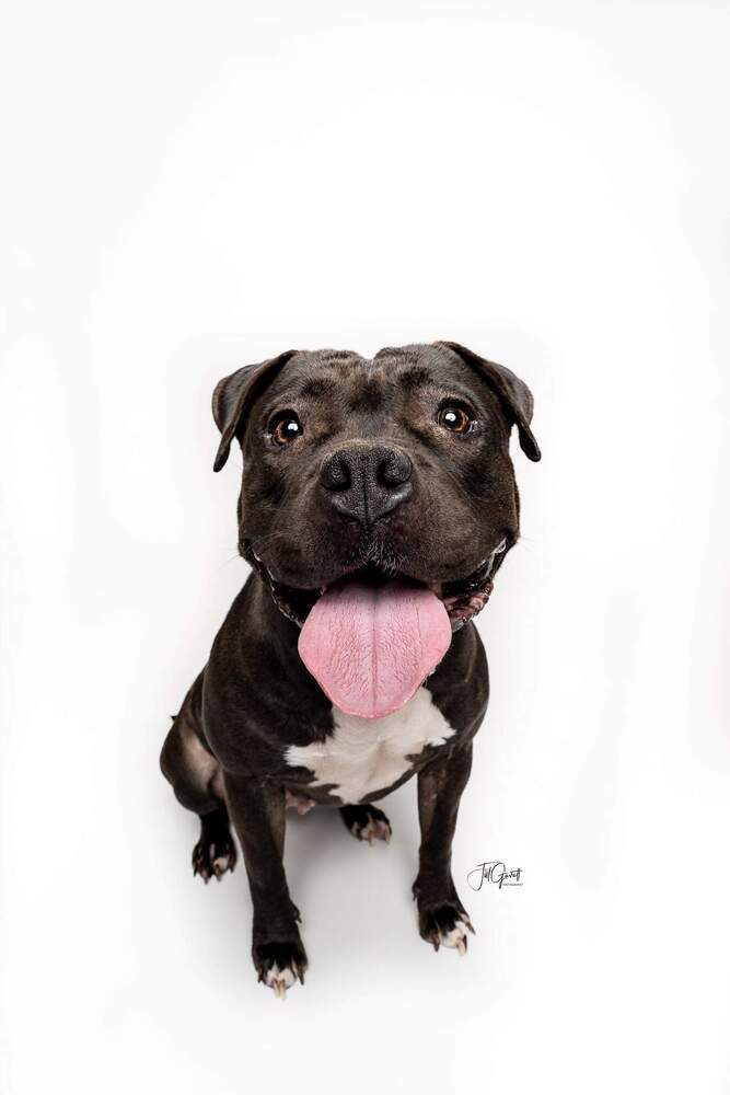 Maya, an adoptable Pit Bull Terrier Mix in Houston, TX
