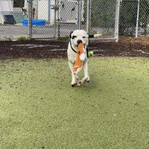 Ace Pit Bull Terrier Dog