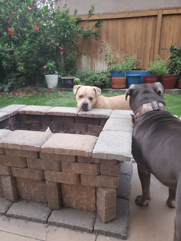 Jugnu & Sweetie, an adopted American Staffordshire Terrier & Pit Bull Terrier Mix in San Diego, CA