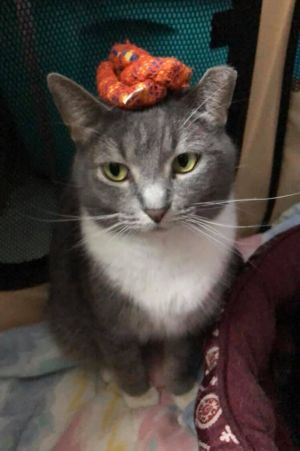 My name is Dusty I am a female gray mackerel tabby and white domestic shorthair