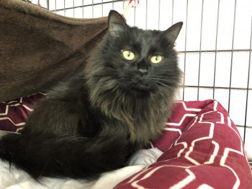 Ingrid, an adopted Domestic Short Hair in Monroe, MI