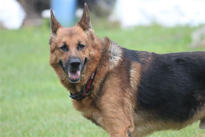 Bruce, an adopted German Shepherd Dog in Orlando, FL