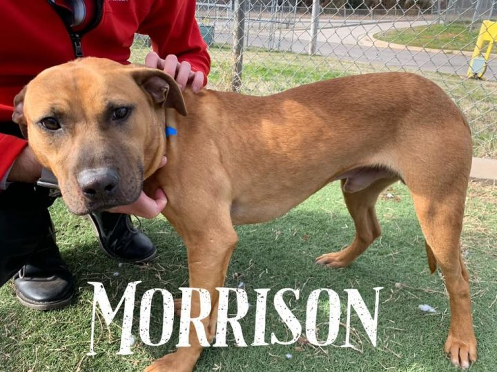 Morrison, an adoptable Pit Bull Terrier in Oklahoma City, OK