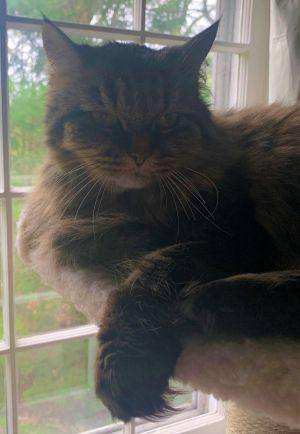 Roxie Domestic Long Hair Cat
