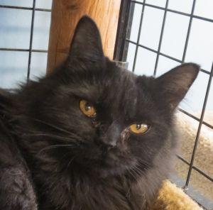 Kitty Purry Domestic Medium Hair Cat