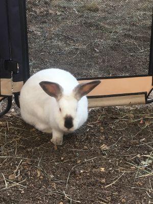 Colette Californian Rabbit