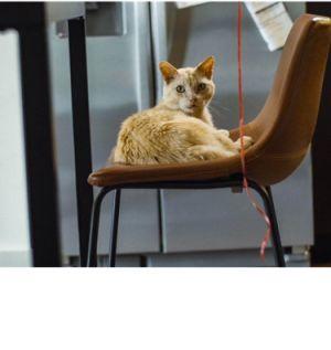 Tuna Magoo Domestic Short Hair Cat