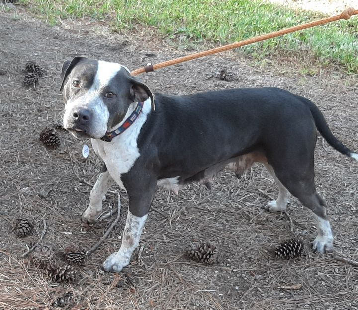 Sunshine, an adopted American Staffordshire Terrier Mix in Clayton, NC