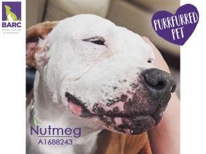 Alert SUPER SWEET SENIOR She walks effortlessly on loose leash and is constantly looking up at y