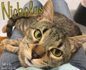 Nicholas is a 2 yr old brown tabby male Hes a small size for a male and looks