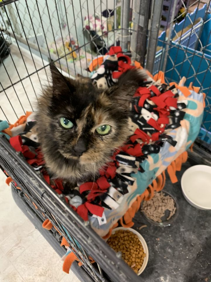 Cindy loo, an adoptable Domestic Medium Hair in Highland, IN