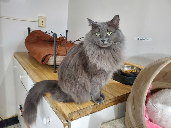 Harley Quinn, an adoptable Maine Coon Mix in Chicago, IL_image-1