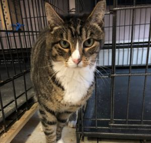 Peony is a beautiful tabby that arrived to DAWS just a few short weeks ago She was previously livin