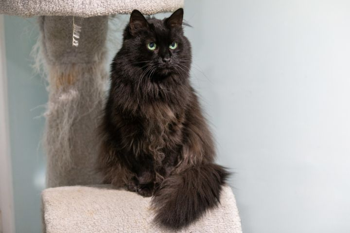 Eve, an adoptable Ragdoll Mix in Chicago, IL