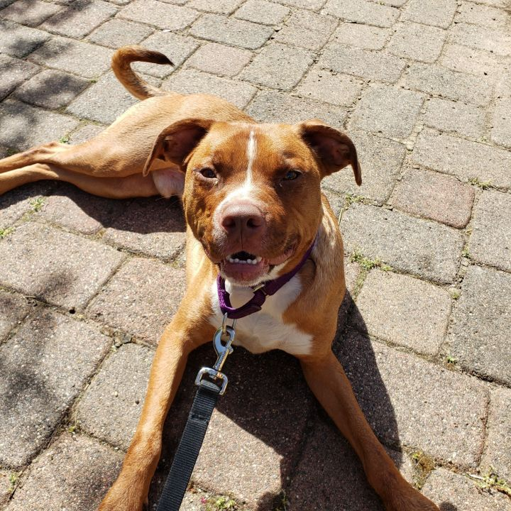 Copper, an adopted Labrador Retriever & Pit Bull Terrier Mix in Darien, CT