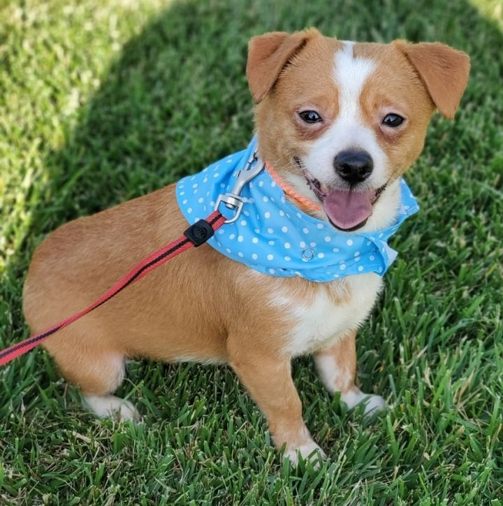 Tippi, an adopted Border Terrier & Jack Russell Terrier Mix in Redlands, CA