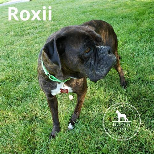 Roxii, an adopted Boxer in Battle Ground, WA