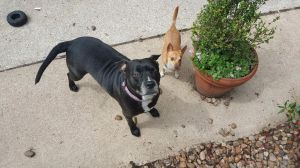Luna was found in SW Houston dragging a tattered pink leash very thin and had