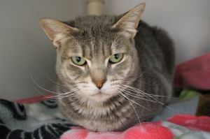 Meredith Grey is domestic short hair spayed female At about 7 years old she finds herself starting