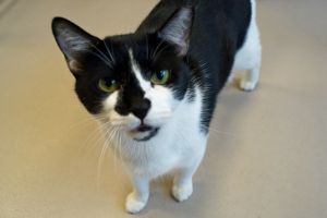 Nurse Chuny is a 4-year-old black and white female who was brought to the shelter with her two sist