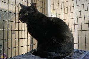 Nurse Haleh is a 9-year-old female black cat with striking yellow eyes She was brought to the shelt