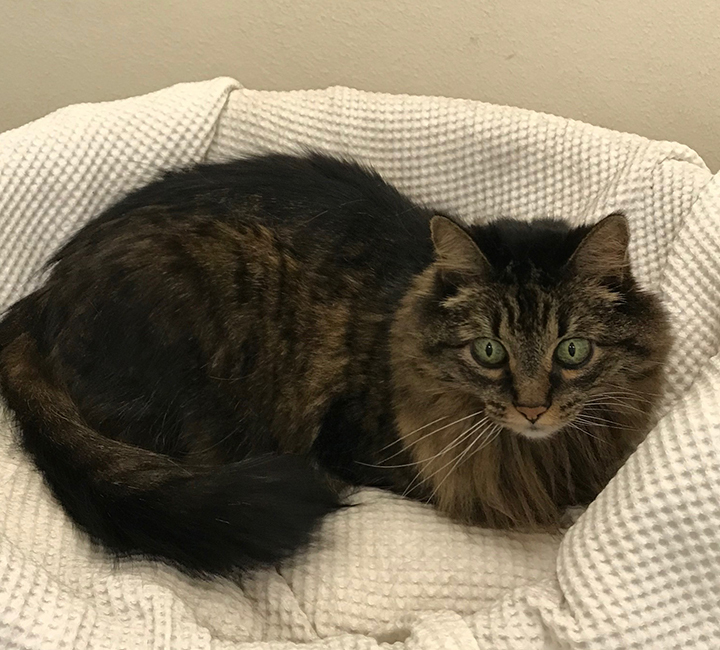 Miss Misty, an adoptable Maine Coon Mix in Nacogdoches, TX