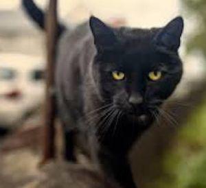 Spooky Bombay Cat