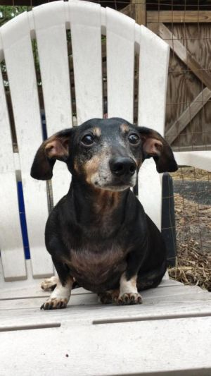 Hansel is a 10 year old 11 pound boy who is soooo sweet He had back surgery a couple of