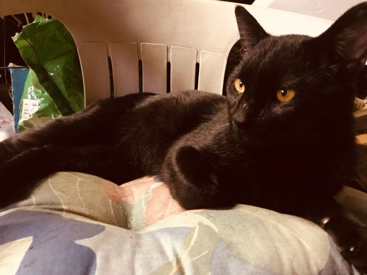Binx, an adoptable Domestic Short Hair in Highland, IN