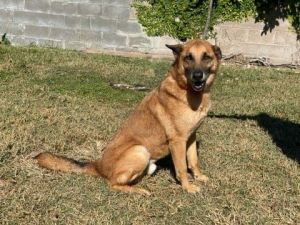 Sammy is a 5-7 year old German Shepherd Dog He came to us from a high kill shelter in the