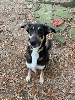 Sierra is an 2 year old German Shepherd mixed Dog She came to us from a high kill shelter in