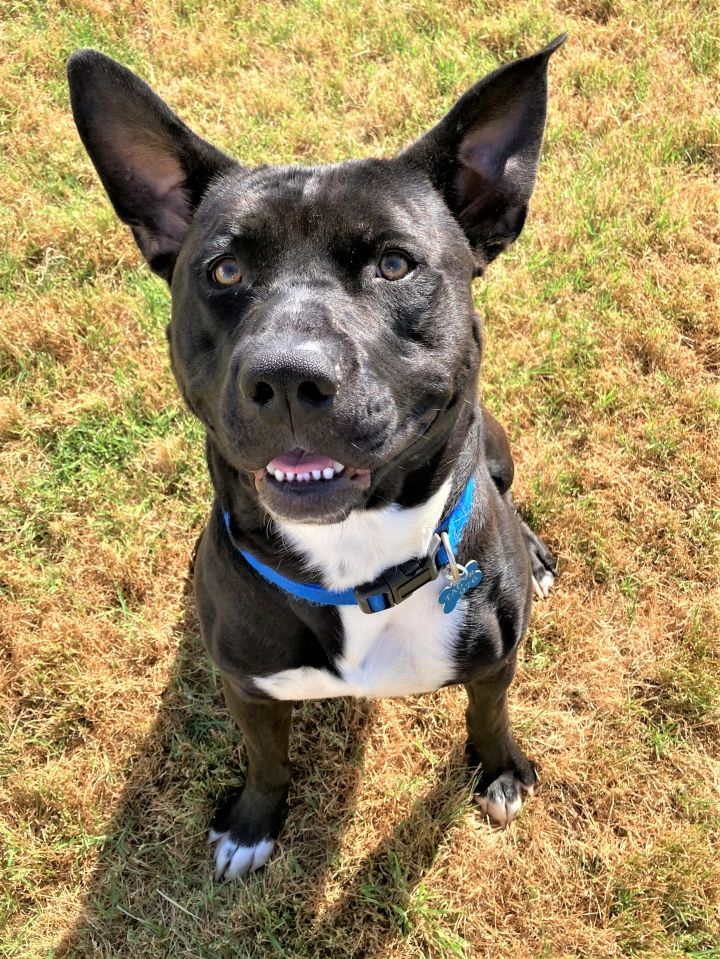 Bruce, an adoptable American Staffordshire Terrier & Pit Bull Terrier Mix in Oklahoma City, OK