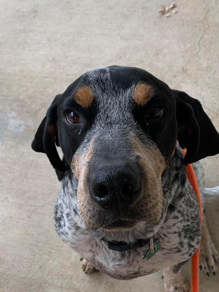 Waylon, an adoptable Bluetick Coonhound Mix in New Albany, OH