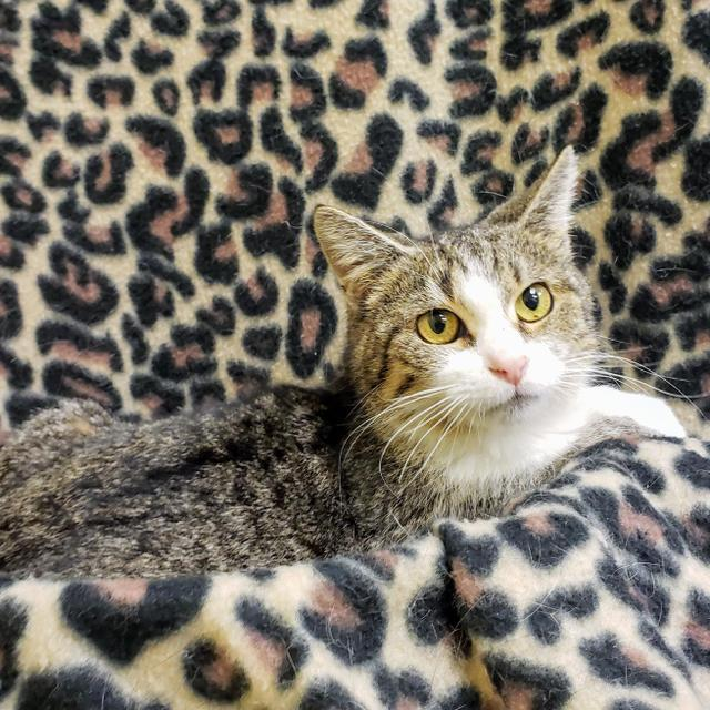Courtney, an adoptable Domestic Short Hair in Florence, SC