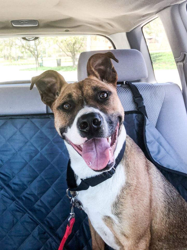 Lindsay, an adoptable Pit Bull Terrier Mix in Roselle, IL