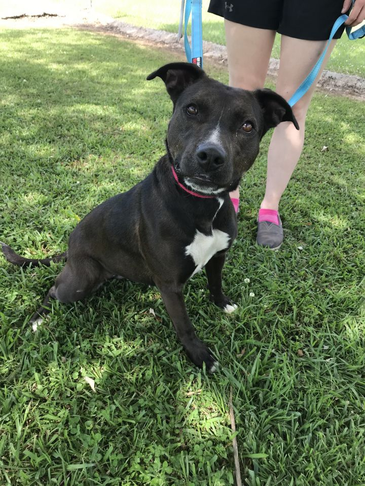 Clover, an adoptable American Staffordshire Terrier Mix in Carencro, LA