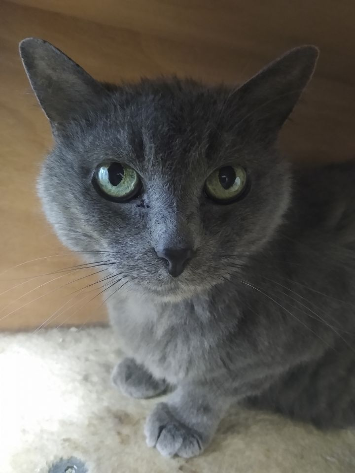 Max, an adopted Domestic Short Hair Mix in Naperville, IL