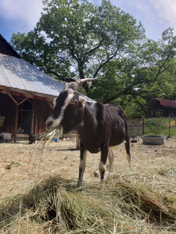 Marquita, an adoptable LaMancha in Jacksonville, OR