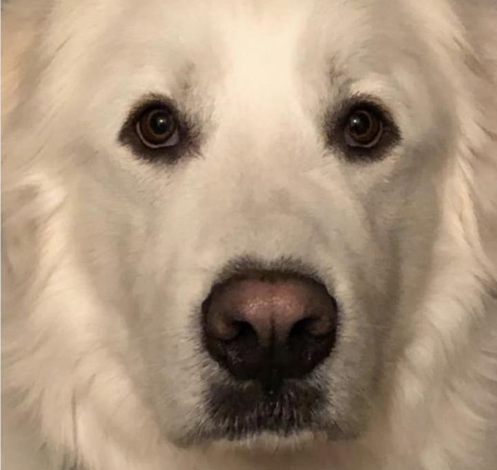 Cooper, an adoptable Great Pyrenees in Neshkoro, WI