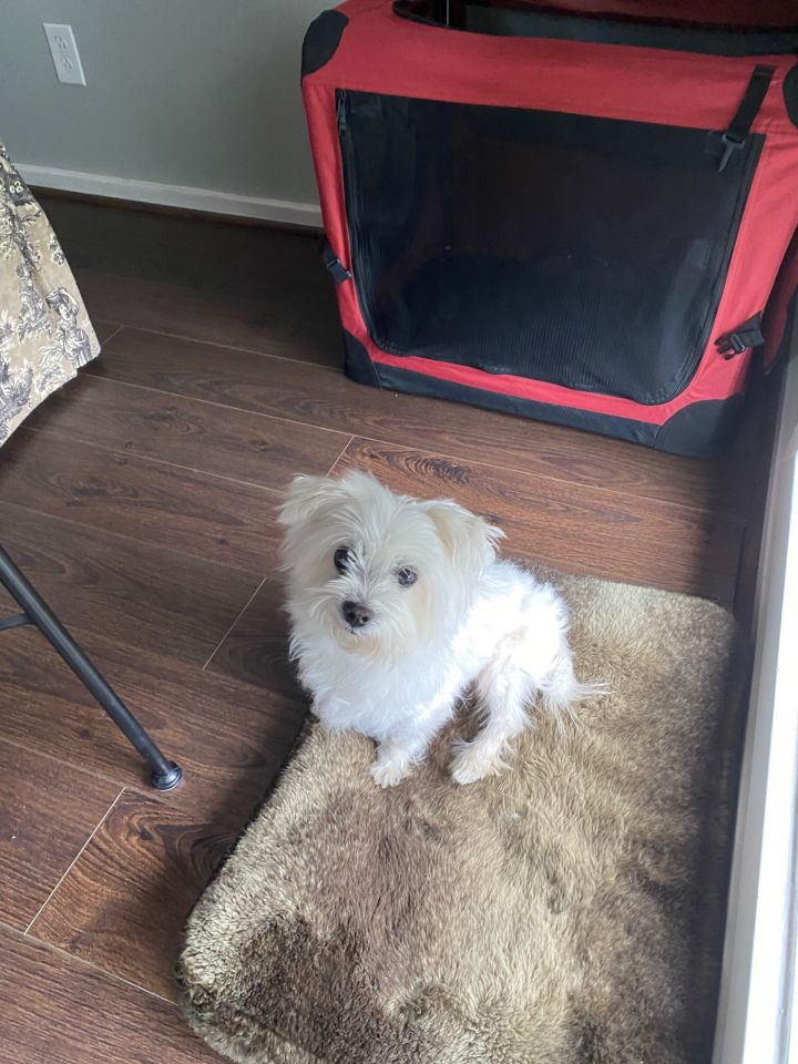 Marsh, an adopted Maltese in South Charleston, OH