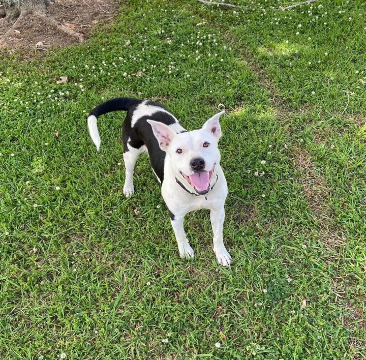 Shamrock, an adoptable American Staffordshire Terrier Mix in Carencro, LA