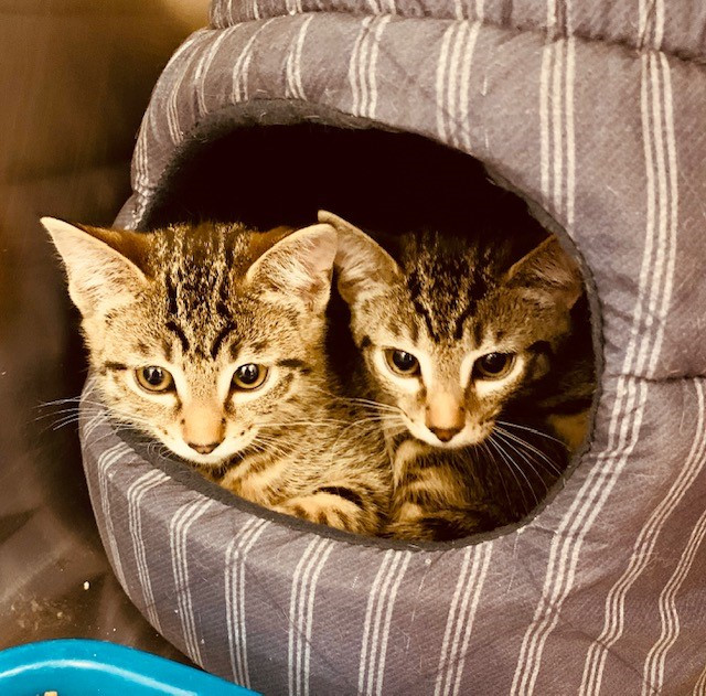 Sora&Riku, an adoptable Domestic Medium Hair in Sierra Vista, AZ