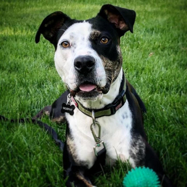 Farkle, an adopted American Staffordshire Terrier & Pit Bull Terrier Mix in Saint Paul, MN