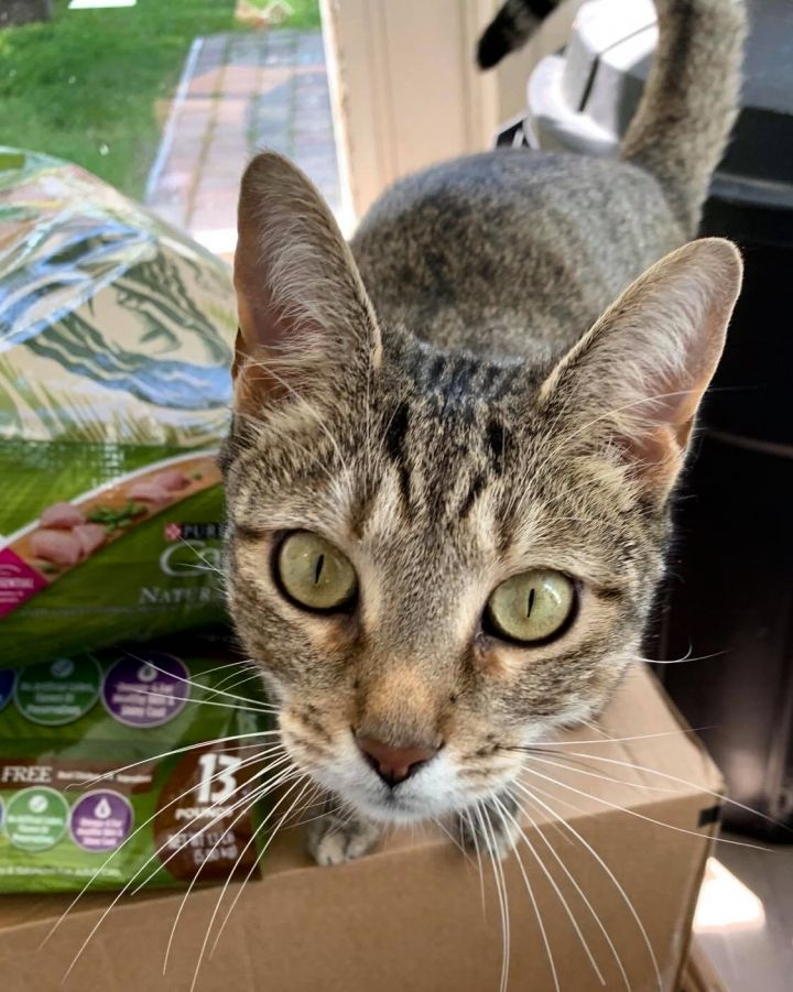 Rosalina, an adoptable Domestic Short Hair in Queenstown, MD