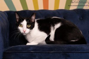 Shy at first but once she opens up she is the sweetest kitty Cookie definitely enjoys human compan