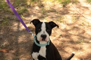 Kyra is 2-3 year old 40 pound little pitty mix Shes a sweet girl that will nee
