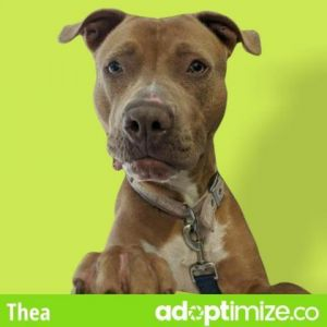Thea Staffordshire Bull Terrier Dog