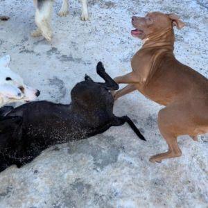 Thea Staffordshire Bull Terrier Dog