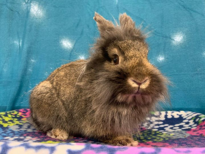 Derri, an adopted Lionhead Mix in Youngstown, OH