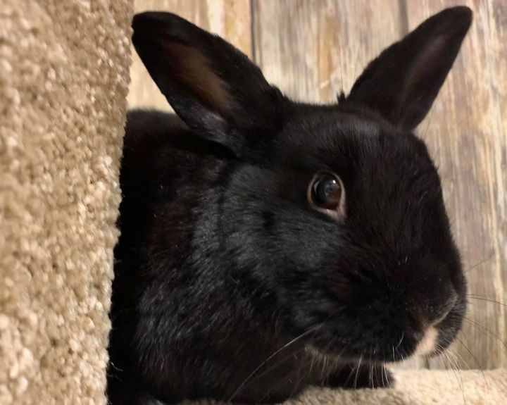 Kieran, an adoptable Bunny Rabbit Mix in Youngstown, OH